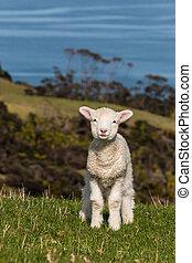 agneau, curieux, herbe, debout