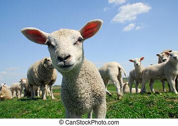 agneau, curieux, printemps