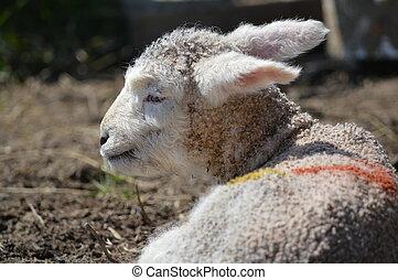 agneau, débraillé, mignon, oreilles, grand