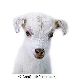 agneau, debout, blanc