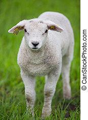 agneau, debout, herbe