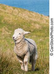agneau, debout, herbe, jeune