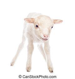 agneau, debout
