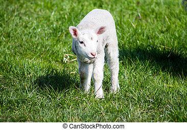 agneau, debout, jeune