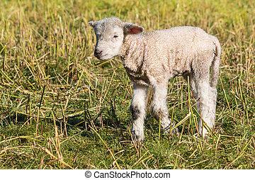 agneau, debout, peu, pré