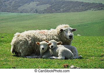 agneau, et, brebis