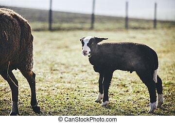 agneau, ferme
