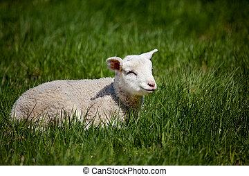 agneau, heureux
