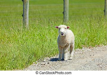 agneau, lam