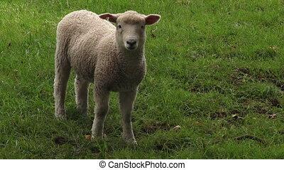 agneau, merino, une