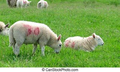 agneau, mignon, peu, grattement