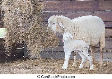 agneau, mouton, blanc, mère