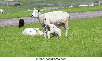 agneau, peu, buvant lait