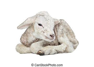 agneau, vieux, jour, une