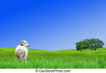 agnello, in, primavera