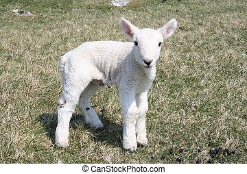 agnello, primo piano