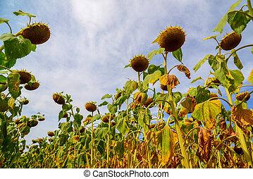agosto, maduro, fundo, campo girassol, russia., vista