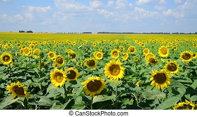 agrícola, cultivo, field., rússia, girassol