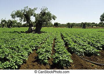 agrícola, puglia., paisagem