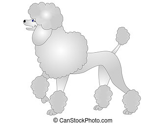 agradable, poodle, aislado, blanco