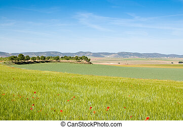 Barley and pea crops in springtime. At the left, a line of almond trees