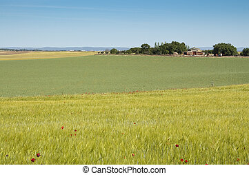 Agrarian landscape - Barley and pea crops in springtime. At...