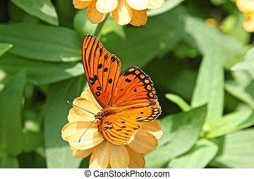 Gulf Fritillary butterfly - Agraulis vanillae, passion...