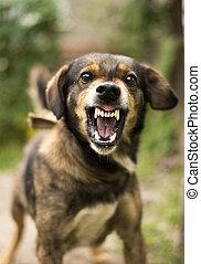 agressif, chien, fâché