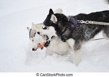 agressif, deux, chiens