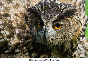Agressive eagle owl with all its feathers set up