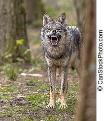 Agressive European grey Wolf