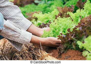 agricultor, colheita, fresco, orgânica, legumes, forma,...