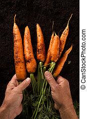 agricultor, mãos, segurando, cenouras, com, verde sai