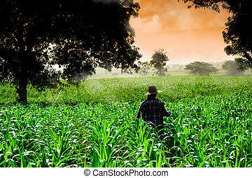 agricultor, mulher caminhando, em, milho, campos, em, começo matutino