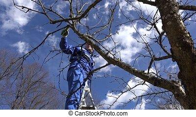 agricultor, poda, árvore fruta, ramos, em, pomar, ficar,...