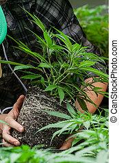 agricultor, seu, marijuana, trabalhando, colheita
