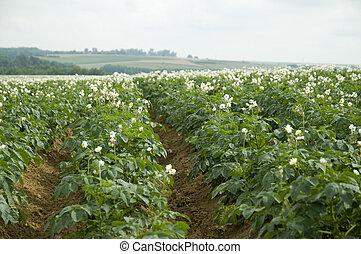 agricultura, batatas