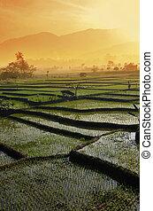 agricultura, campo arroz, paisagem