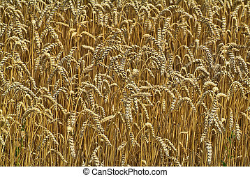agricultura, campo de trigo