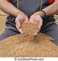 agricultura, colheita trigo, agricultor, e, colheita