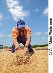 agricultura, colheita trigo