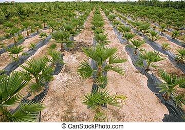 agricultura, de, ornamental, coqueiros, filas, plantação