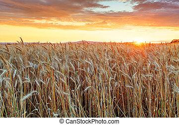 agricultura, dorado, campo, con, trigo