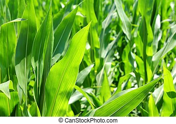 agricultura, maíz, plantas, campo, plantación verde