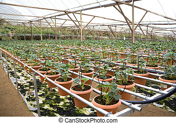 agricultura, morangos, orgânica