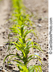 cultivation of sweet corn