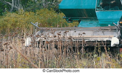 Agricultural combine harvests dry sunflower crops in field...