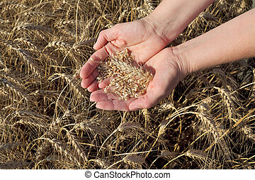 Agricultural concept, wheat in hands and field - Female...
