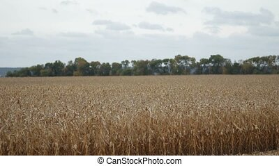 Agricultural cornfield with blue cloudy sky - View of...