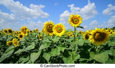 Agricultural cultivation of sunflower in the field. Russia -...